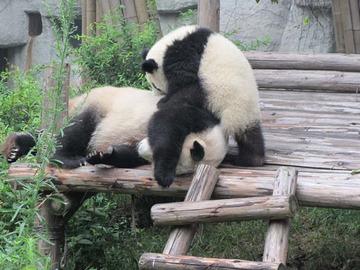 Panda003