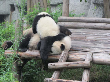 Panda004