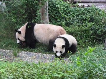 Panda006