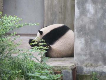 Panda013