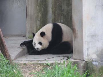 Panda015