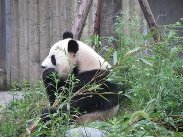 Panda017
