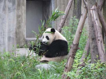 Panda019