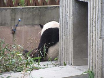 Panda022