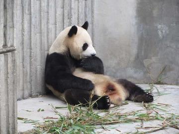 Panda024