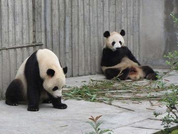Panda026