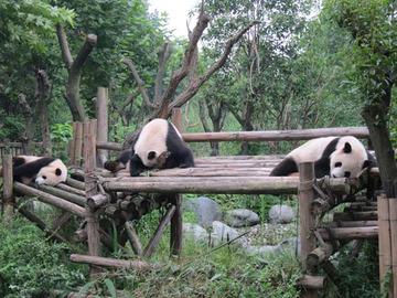 Panda027