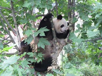 Panda030