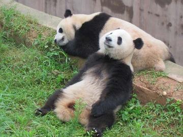 Panda032