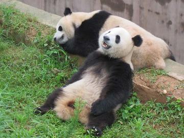 Panda033