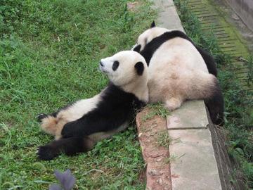 Panda034