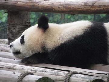 Panda035
