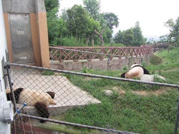 Panda036
