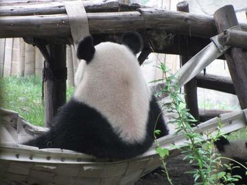 Panda038