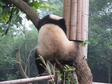 Panda041