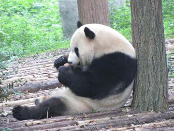 Panda046