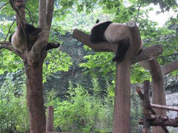 Panda050