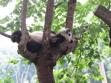 Panda052