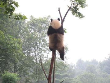 Panda054