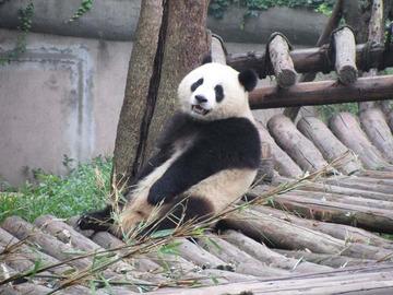 Panda058