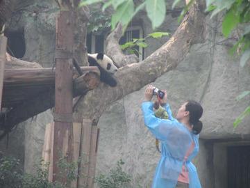 Panda061