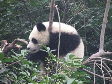 Panda062