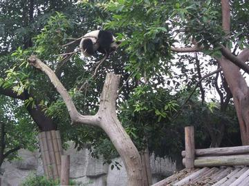 Panda066