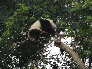 Panda067