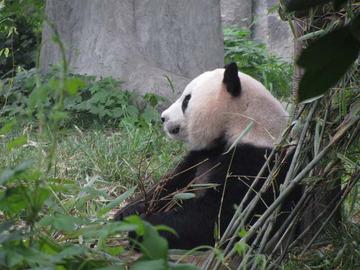 Panda068
