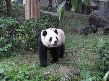Panda070