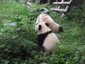 Panda071